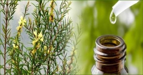 10 întrebuinţări incredibile ale uleiului esenţial de arbore de ceai