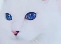 Aviz iubitorilor de animale! Nu ştiai ASTA despre pisicile cu ochi ALBAŞTRI