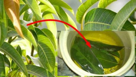 NU ştiai că poţi face ASTA cu frunzele de MANGO - Vindecă multe probleme de sănătate