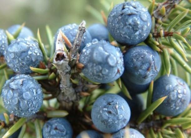 cura de slabire cu fructe de ienupar